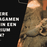 Kun je meerdere baardagamen samen in een terrarium houden?