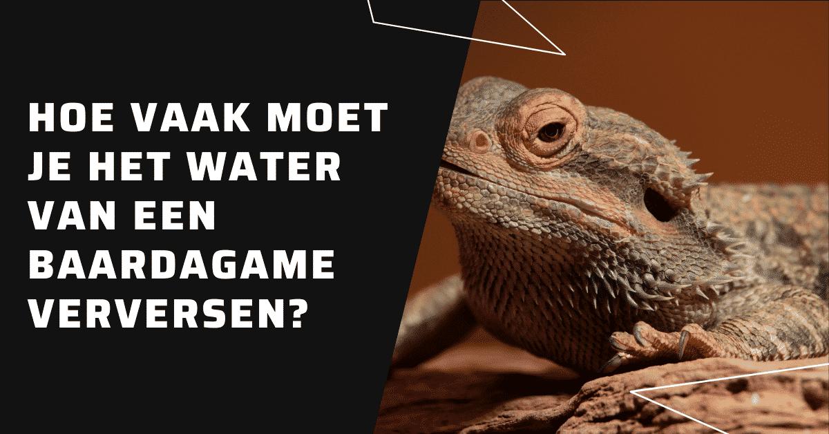 Hoe vaak moet je het water van een baardagame verversen