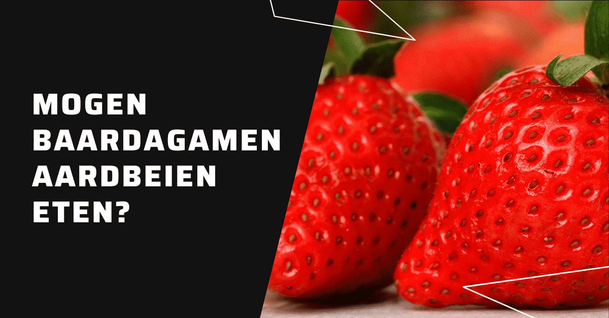 Mogen baardagamen aardbeien eten