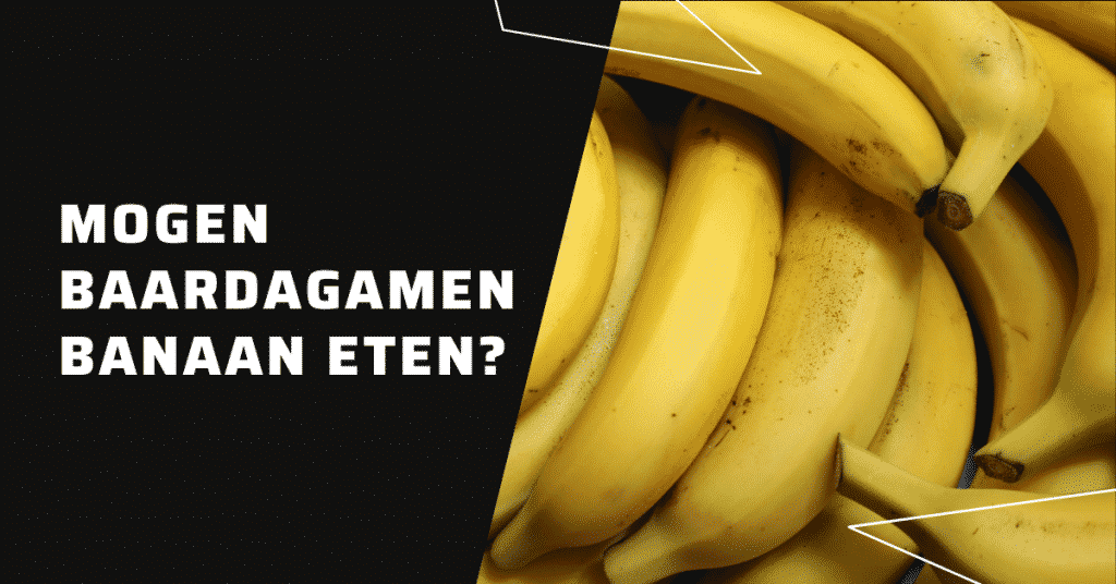 Mogen baardagamen banaan eten