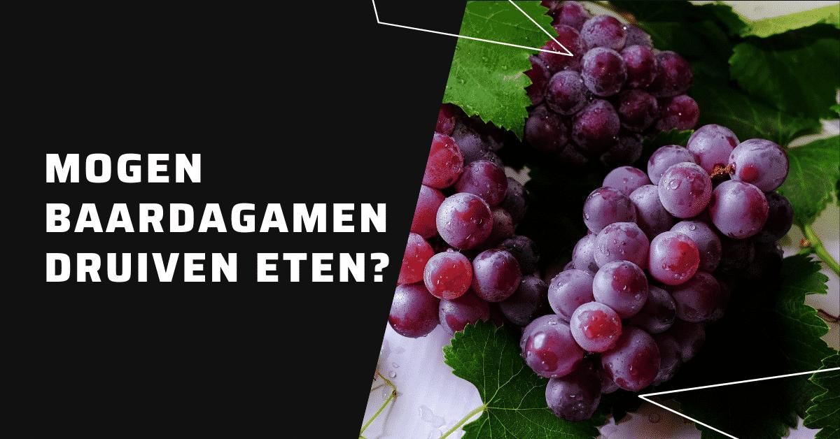 Mogen baardagamen druiven eten